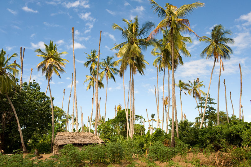 A plantation worker's homestead with <p>coconut palms, Quelimane, Mozambique