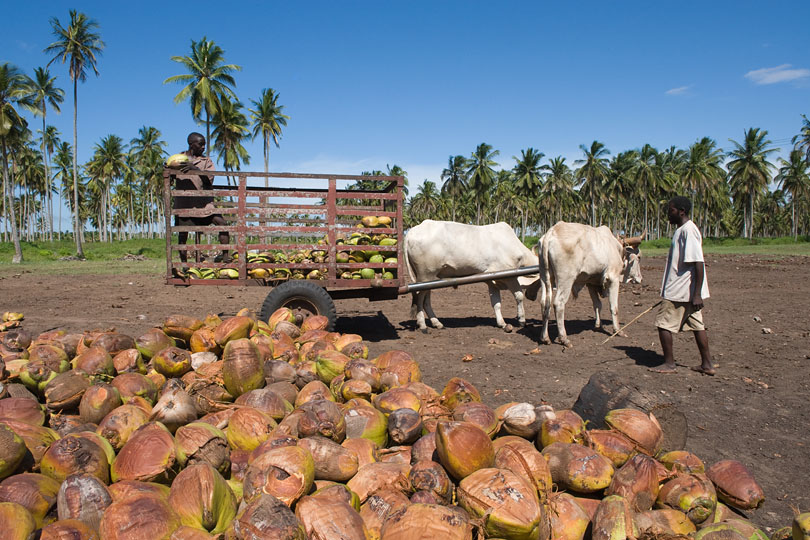 Fresh coconuts are delivered <p>by bullock-cart to the kiln.