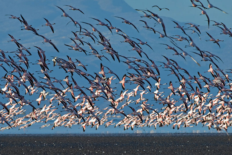 Large flocks of Lesser Flamingos gather to feed on Spirulina,<p> a blue-green algae with red pigments